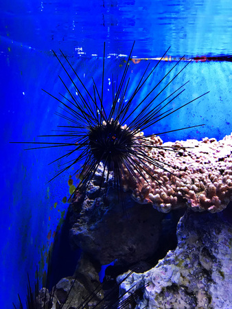 Diadema setosum or Long-spined black sea urchin in the Okinawa Churaumi Aquarium, Japan. 写真素材