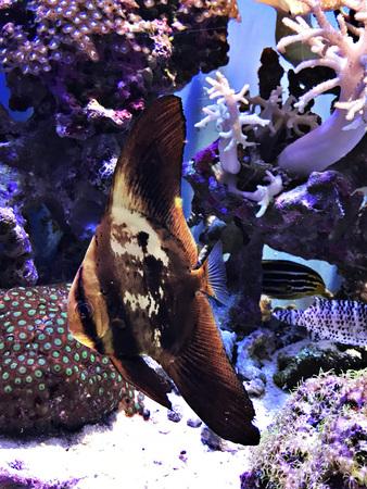 Young Platax teira or Teira batfish or Longfin batfish or longfin spadefish in the Okinawa Churaumi Aquarium, Japan.