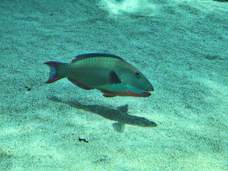 Cetoscarus bicolor or Bicolor parrotfish or Bumphead parrotfish in the Okinawa Churaumi Aquarium, Japan. 写真素材