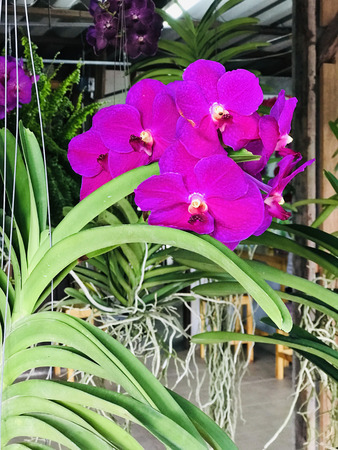 Outstanding and colorful Vanda orchid flowers in Thailand.