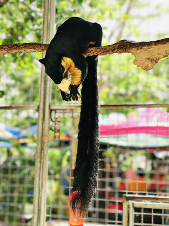 Ratufa bicolor or Black giant squirrel or Malayan giant squirrel in Thailand. Stock fotó