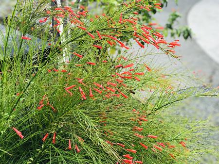 Russelia equisetiformis or Fountainbush or Firecracker plant or Coral plant or Coral fountain or Coralblow or Fountain plant. Stock fotó