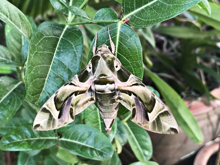 Daphnis nerii or Deilephila nerii or The oleander hawk moth or Army green moth. Stok Fotoğraf