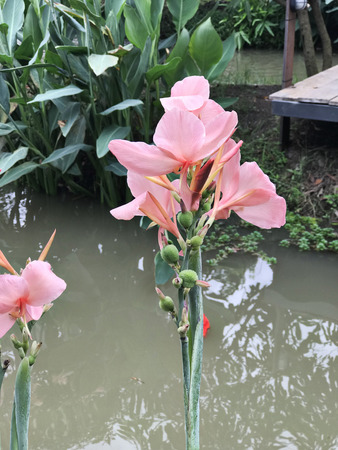 Pink Canna flower.