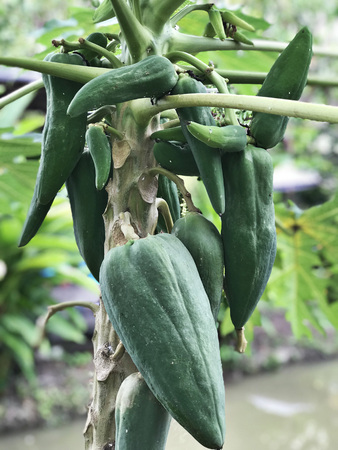 Papaya tree produce the fruits.