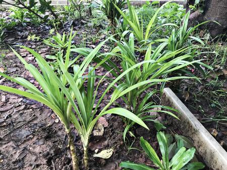 Growing Pandanus amaryllifolius or Pandan plant in Thailand.