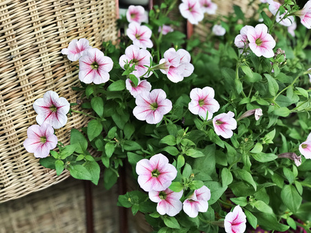 Pink & White Petunia flowers.