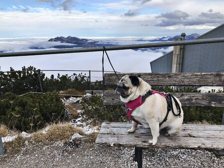 A cute pug dog on Alpspitz in Germany.