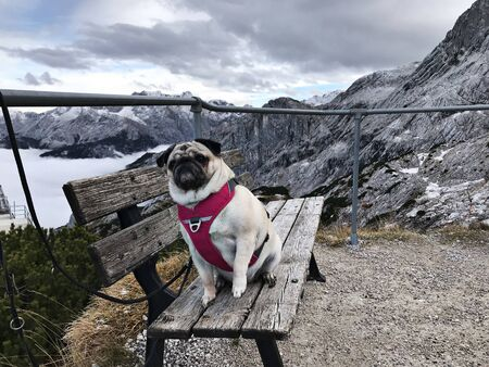A cute pug dog on Alpspitz in Germany.
