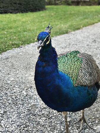 Peafowl or Peacock in the garden of Schloss Ambras Innsbruck in Austria.