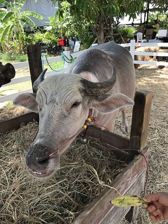 Dwarf Water Buffalo of the farm in Thailand.