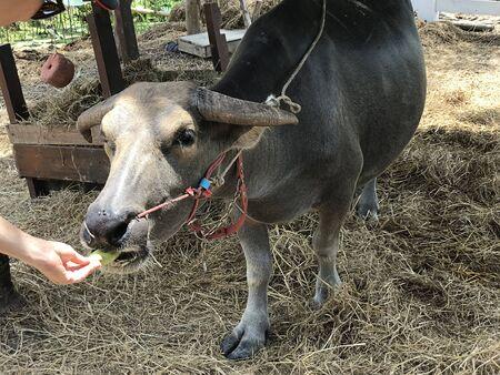 Feeding Dwarf Water Buffalo of the farm in Thailand. 스톡 콘텐츠