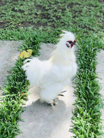 Silkie chicken of the farm in Thailand.