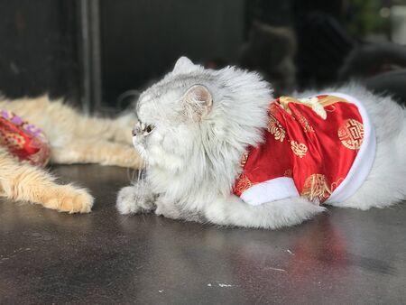 Cute Persian cat wearing a red mandarin dress. Фото со стока