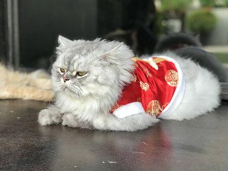 Cute Persian cat wearing a red mandarin dress. 写真素材