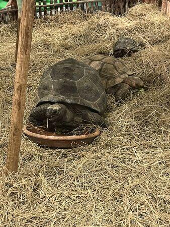 Chelonoidis nigra or Galapagos giant tortoise.