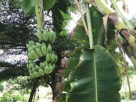Cultivated banana tree produce the fruit.