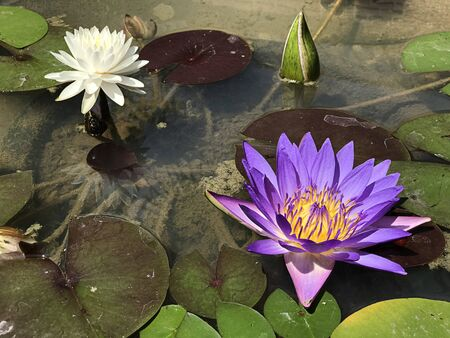 Nymphaea caerulea or Blue Egyptian lotus or Blue water lily or Sacred blue water lily.