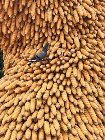 Pigeon and height pile of yellow corn pod. Standard-Bild