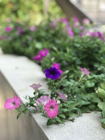 Pink petunia flowers are blooming.