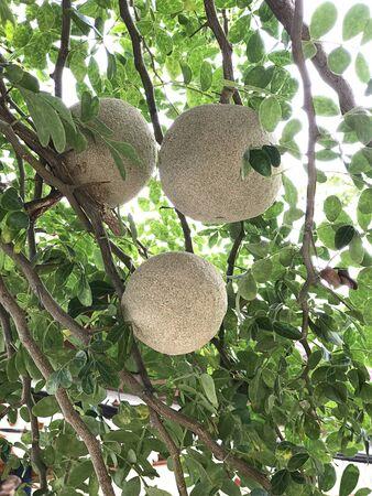 Limonia acidissima or Wood-apple or Elephant-apple produce the fruit.
