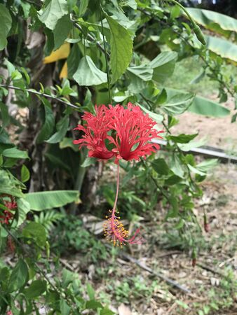 Hibiscus schizopetalus or Fringed rosemallow or Japanese lantern or Coral hibiscus or Spider hibiscus flower.