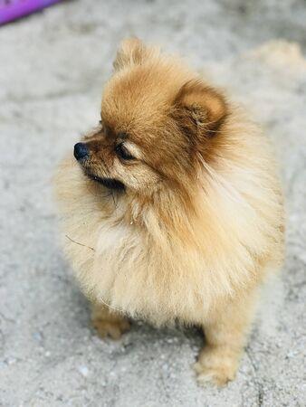A cute brown Pomeranian dog on the sandy beach.