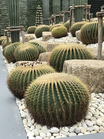 Echinocactus grusonii or Golden barrel cactus or Golden ball or Mother-in-law's cushion.