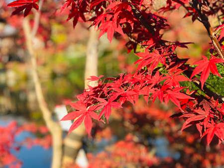 Colorful maple leaves in autumn at Eikando (Zenrinji) Temple in Kyoto, Japan. Archivio Fotografico