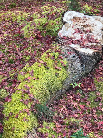 Moss grows on the log in the fall.