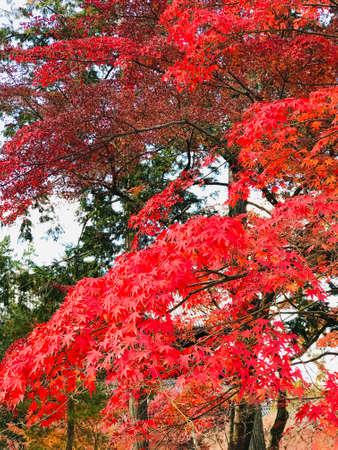 Colorful maple leaves in autumn at Eikando (Zenrinji) Temple in Kyoto, Japan. 免版税图像