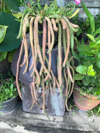Aporocactus flagelliformis or Rattail cactus.
