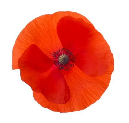 Close-up Corn Poppy  papaver rhoeas  Isolated with Clipping Path photo