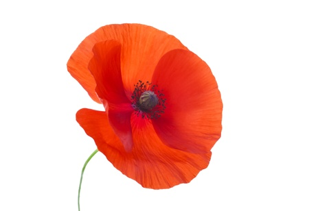 first day: Close-up Corn Poppy  papaver rhoeas  On White with Clipping Path