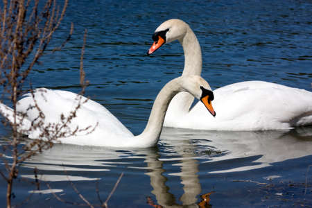 Two White Trumpeter Swans photo
