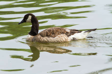 canada goose: A Canada goose swimming in a pond Stock Photo