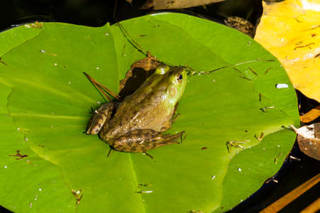 lily pad: A Frog sitting on a lily pad Stock Photo