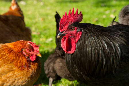 free range: A black free range rooster with hens Stock Photo
