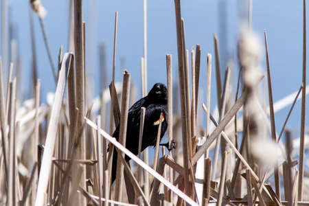 voices: A red wing blackbird perched in a bunch of reeds Stock Photo