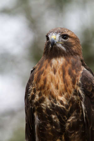 stocky: Close up of a Red Tail Hawk Stock Photo