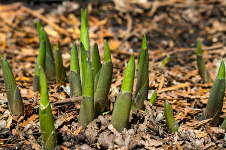 A Hostas plant pushing up through the ground in spring. Stock Photo