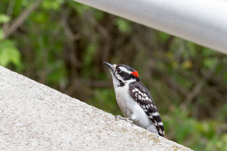 A Downy Woodpecker perched on a concrete  wall Stock Photo