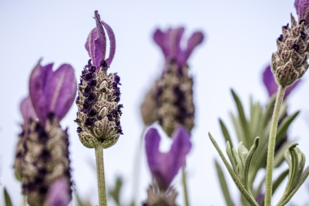 Closeup of Lavender Flower With Bokeh Background Zdjęcie Seryjne