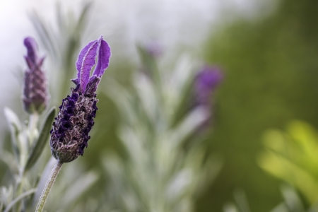 Closeup of a Lavender Flower Against Green Bokeh Background