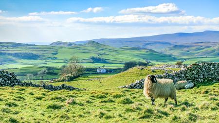 美しいヨークシャー ・ デイルズ風景の見事な風景イギリス観光英国のグリーン圧延丘の羊