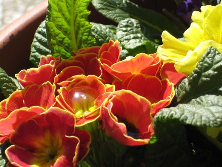 Primula with a water drop Stock Photo