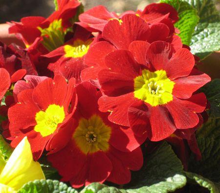Red primula with yellow stigma
