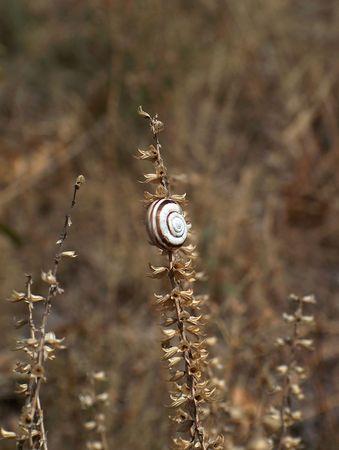 Hungarian snail