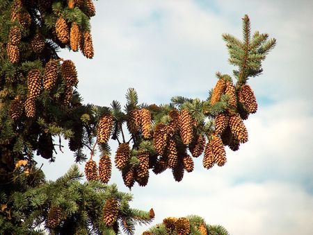 Pinecones on a pine tree