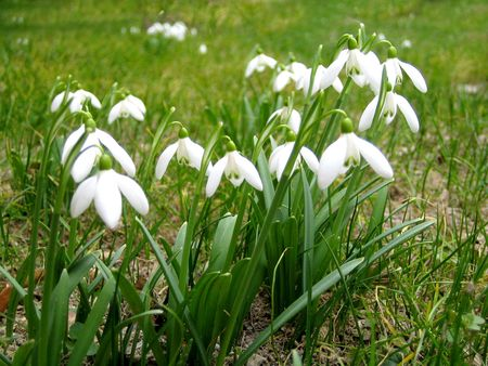Snowdrops in a grassed yard Stock Photo